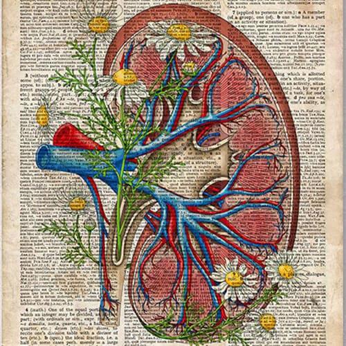 Organ Niere